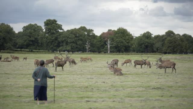 Rutting Red Deer in Richmond Park, London, UK