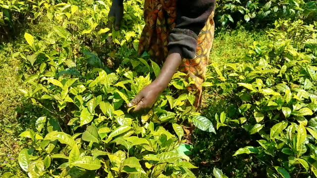 rwandan woman picking tea leaves - picking harvesting stock videos and b-roll footage