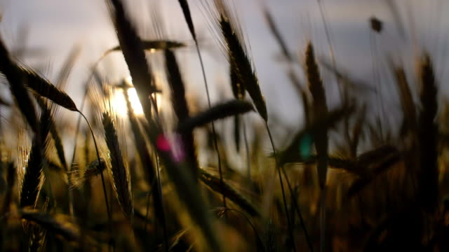 rye ears at sunset - controluce video stock e b–roll