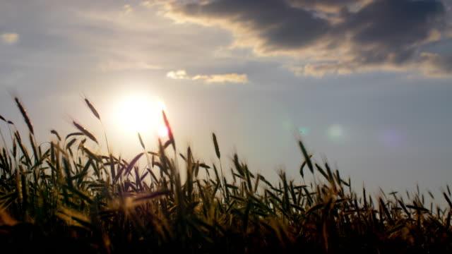 夕方の太陽の中でライ耳 - 穀物 ライムギ点の映像素材/bロール
