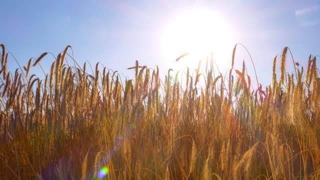 夕日のライ麦フィールド - 穀物 ライムギ点の映像素材/bロール