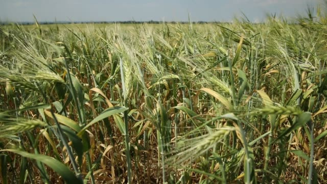 rye grows on a dry farmer's field on may 31, 2018 near prenzlau, germany. farmers in northern germany are anticipating significantly poor harvests... - 穀物 ライムギ点の映像素材/bロール