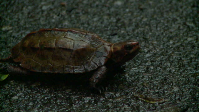 ryukyu black-breasted leaf turtle (geoemyda japonica) in okinawa, japan - 絶滅の恐れのある種点の映像素材/bロール