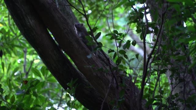 ryukyu long-haired rat, okinawa, japan - okinawa prefecture stock videos & royalty-free footage