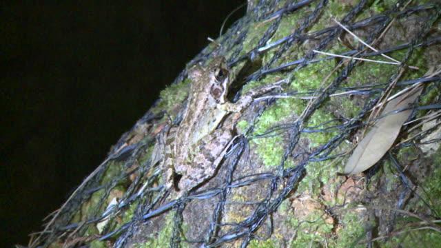 ryukyu tip-nosed frog (odorrana narina) in its habitat in okinawa, japan - iucn red list stock videos & royalty-free footage