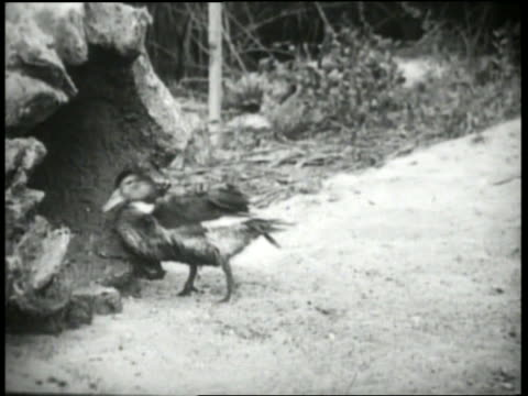 b/w 1920's duck walking into hollow log - aquatic organism stock videos & royalty-free footage