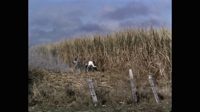vidéos et rushes de 1950's - farm workers harvesting sugar canes in agricultural field, usa - sugar cane