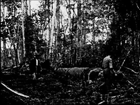 1920's Forest is cleared of trees using oxen