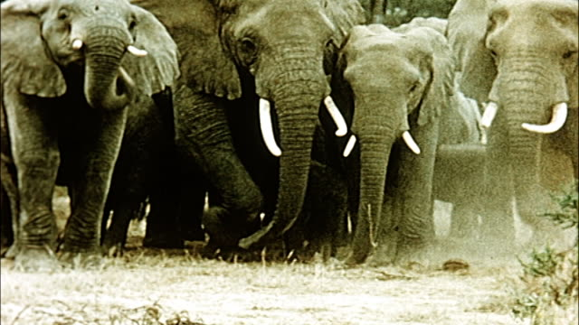 vidéos et rushes de 1960's herd of elephants in tanzania - faune sauvage