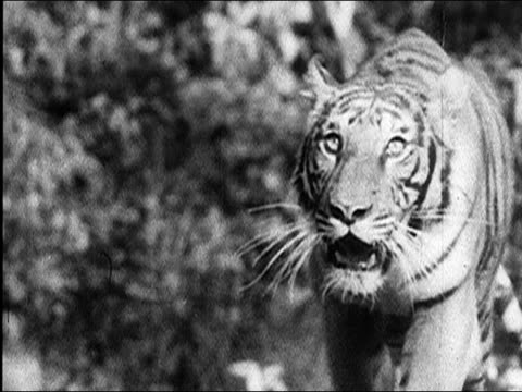 1940's hunting tigers in india - large group of animals点の映像素材/bロール