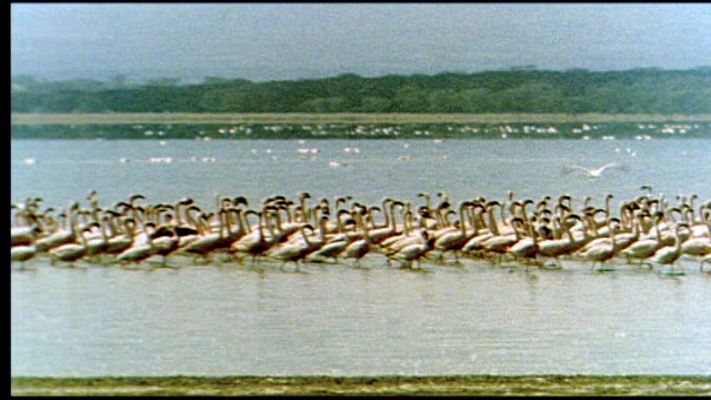 1960's kenya flamingoes - kenya stock videos & royalty-free footage