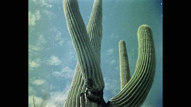 1950's low angle view of saguaro cactus against cloudy sky, arizona, usa - cactus stock videos & royalty-free footage