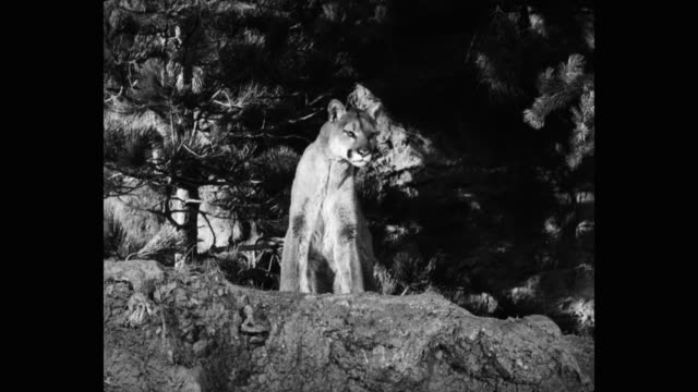 1950's - medium shot of mountain lion sitting in forest - mountain lion stock videos & royalty-free footage