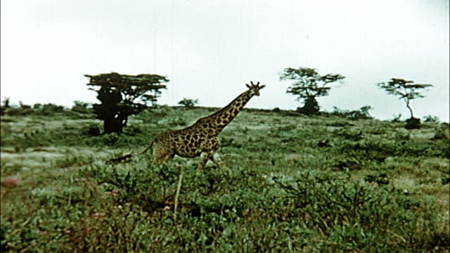1960's nairobi national park - kenya stock videos & royalty-free footage