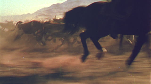 stockvideo's en b-roll-footage met 1800's reenactment tracking shot cowboy on horse running with cattle on plain (man not visible) / billy the kid - 19e eeuwse stijl