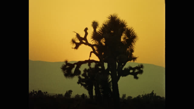 1950's silhouette of joshua trees in desert during sunset, arizona, usa - cactus silhouette stock videos & royalty-free footage