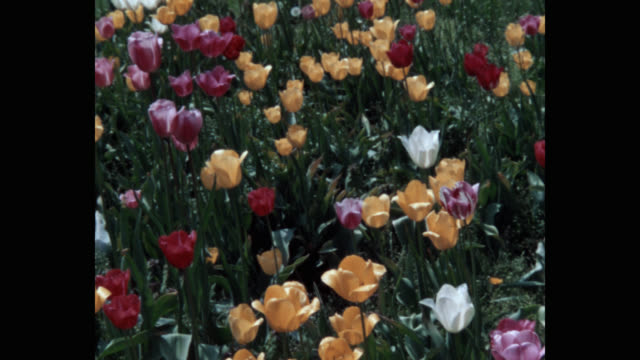 1960's - tilt up shot of flowers growing in garden - flower stock videos & royalty-free footage