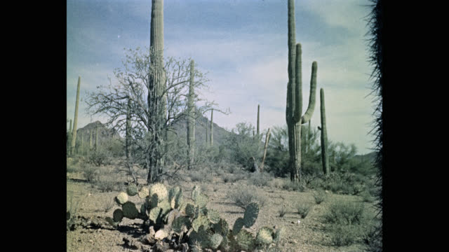 1950's view of saguaro cactus growing in desert against cloudy sky, arizona, usa - cactus stock videos & royalty-free footage
