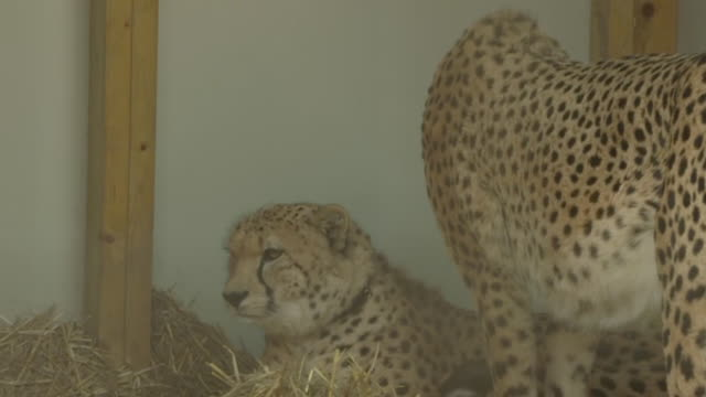 saba and nairo two cheetahs born and raised on a wildlife farm in kent who are to be reintroduced into the wild in south africa - hunting stock videos & royalty-free footage
