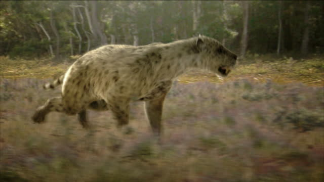 a saber-tooth tiger runs through the grass. - saber toothed cat stock videos & royalty-free footage