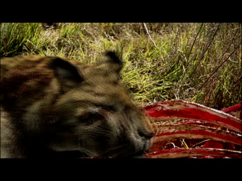 a saber-toothed cat chews on the bloody bones of a kill and walks away. - saber toothed cat stock videos & royalty-free footage