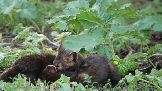 ロシア、巣の近くの地面で遊ぶsable(マルテス・ジベリーナ) - 野生生物保護点の映像素材/bロール