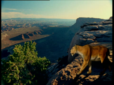 sabre toothed cat looks out over canyon, usa - saber toothed cat stock videos & royalty-free footage