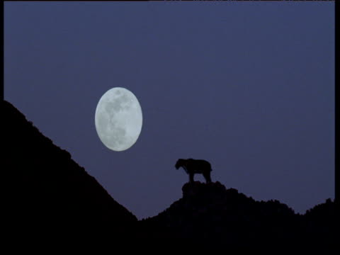 sabre toothed cat roars in front of full moon, usa - power in nature点の映像素材/bロール