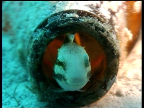 sabretooth blenny in bottle with fish eggs and at entrance, mabul - animal colour stock videos & royalty-free footage