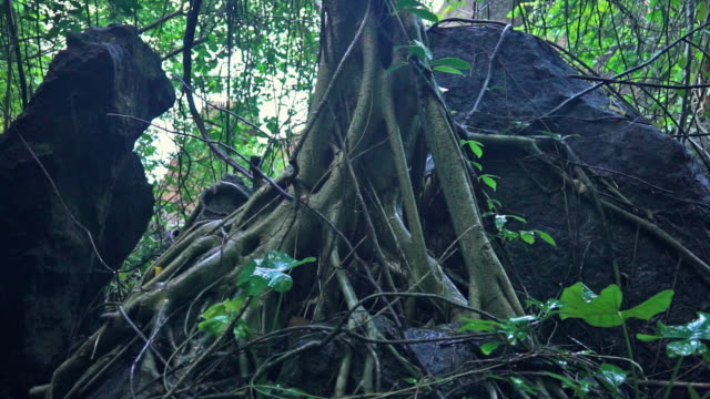 sacred banyan tree (ficus religiosa) roots in monsoon rain - twig stock videos & royalty-free footage