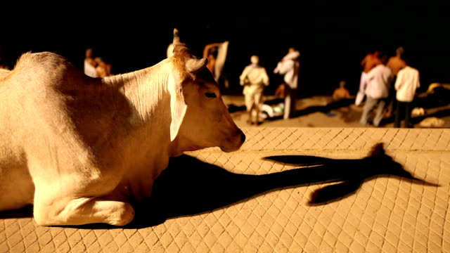 sacred cows in varanasi, indien - spiritualità video stock e b–roll