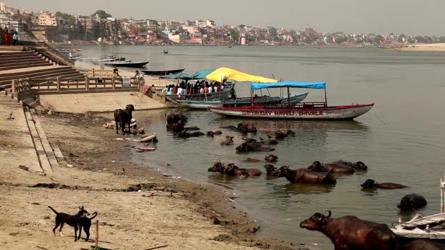 Sacred cows in Varanasi, Indien