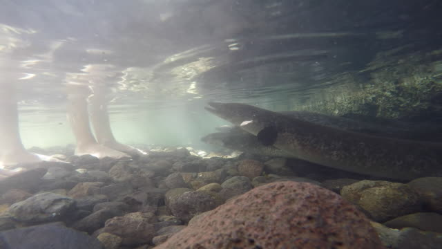 sacred eels, blue eyes, feet in the water - huahine island stock videos and b-roll footage