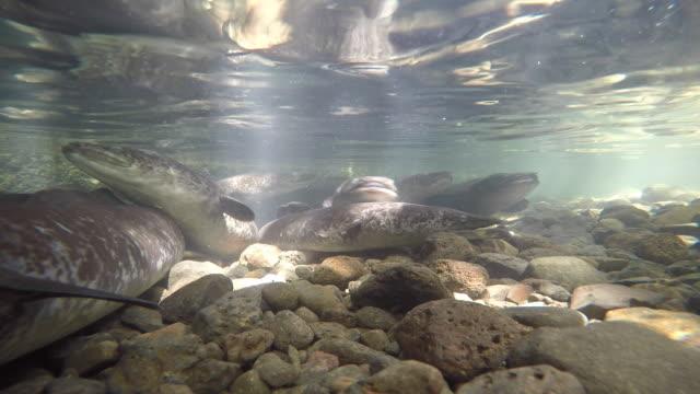 sacred eels, blue eyes - tahitian culture stock videos & royalty-free footage