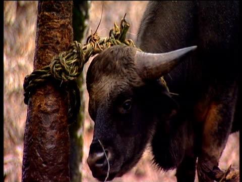 sacred mithun cow stands tethered to tree himalayan jungle arunachal pradesh - in buona condizione video stock e b–roll