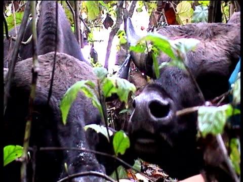 stockvideo's en b-roll-footage met sacred mithun cows loiter in himalayan jungle arunachal pradesh - werkdier