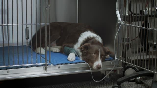 trauriger hund beim tierarzt - illness stock-videos und b-roll-filmmaterial