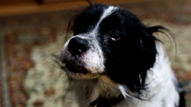 sad look an old dog - hound stock videos & royalty-free footage