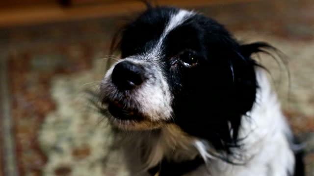 sad look an old dog