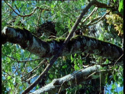 Saddle back tamarin scratches then runs down branch, Manu National Park, Peru