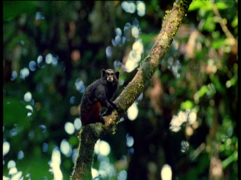 saddle back tamarins play leapfrog on branch, manu national park, peru - leapfrog stock videos & royalty-free footage