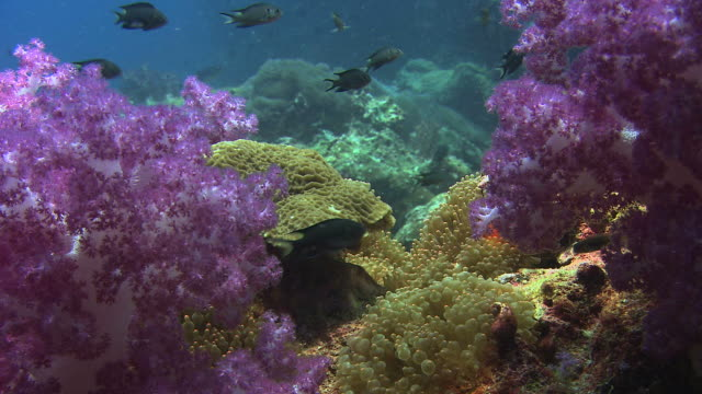 saddleback anemone fish (amphiprion ephippium) among pink soft coral (dendronepthya sp.) and hard corals. filmed at richlieu rock, andaman sea, thailand - soft coral stock videos & royalty-free footage