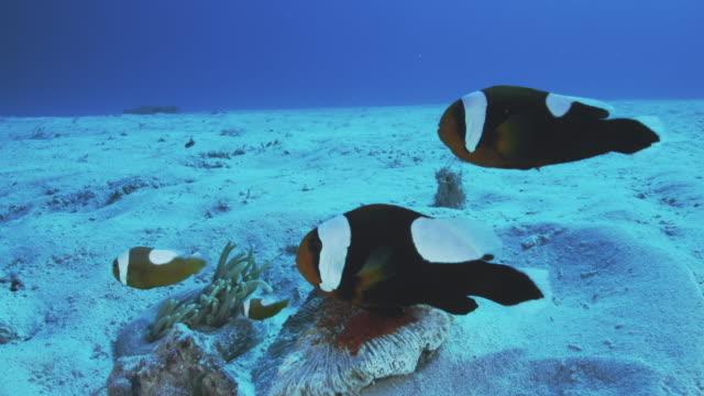 saddleback anemonefish - spawning stock videos and b-roll footage