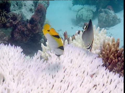 Saddleback butterfly fish and triangular butterfly fish (Chaetodon triangulum) feed on bleached coral, Maldives
