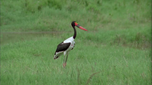 A Saddle-Billed Stork stands near a pond. Available in HD.