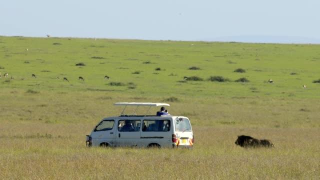 vídeos y material grabado en eventos de stock de safari vehicle with african lion, panthera leo, male, masai mara national reserve, kenya, africa - reserva nacional de masai mara