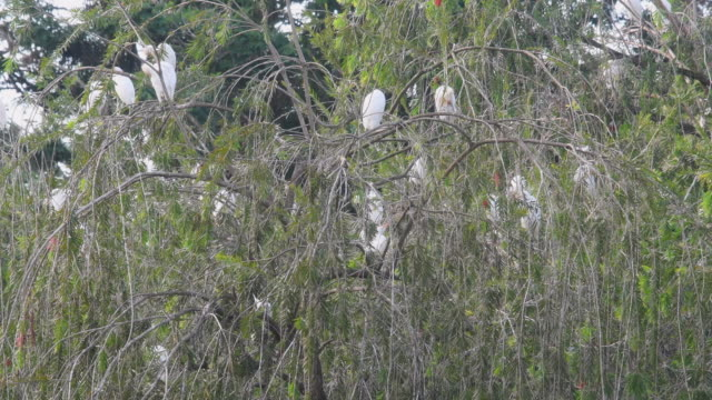safe sleeping tree for white heron and other birds in the mayajigua lake which is a place for eco tourism in sancti spiritus, cuba - eco tourism stock videos & royalty-free footage