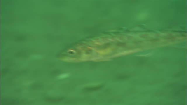 saffron cod (eleginus gracilis)   / diving shooting / shiretoko / hokkaido - タラ点の映像素材/bロール