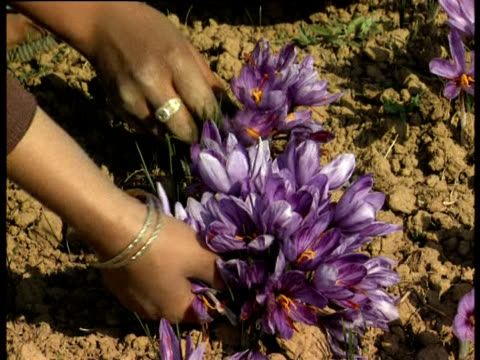 saffron crocuses are harvested - herb stock videos & royalty-free footage