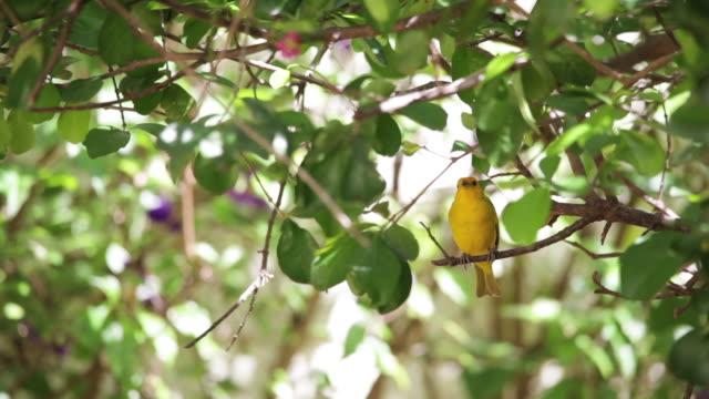 saffron finch on tree branch - cerrado stock videos & royalty-free footage